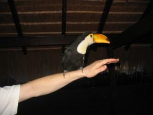 Ein Tucan auf dem Arm eines Mannes, der (außer seinem Arm) nicht fotographiert werden wollte