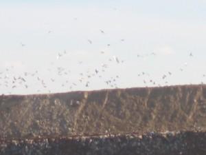Vögel über dem neuen Müllberg